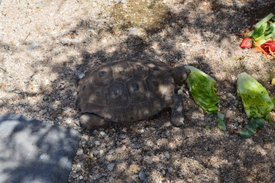 Rodeo, NM: Tortoise in the garden having a snack.