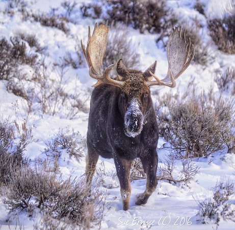 BrushBuck Wildlife Tours: Bull moose in the Tetons by Sue Ernisse!