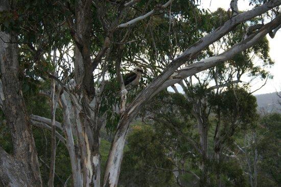 Merimbula, Australia: Kookaburras