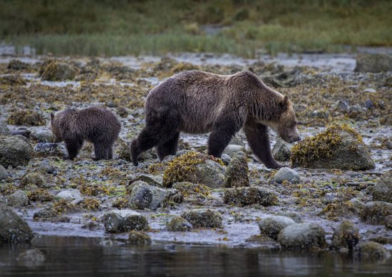 Tide Rip Grizzly Tours: amazing to be so close, without the bears being disturbed by us