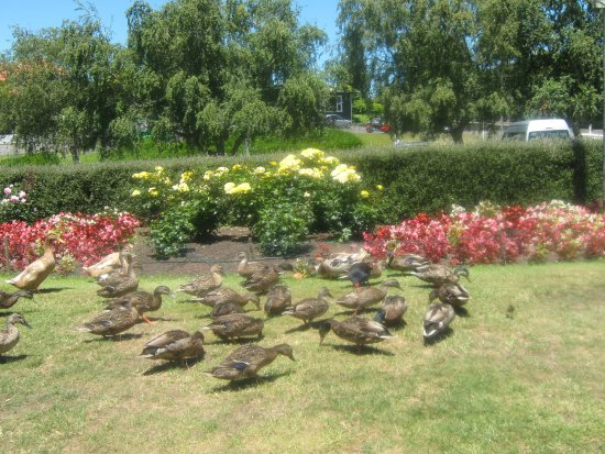 Whanganui, Nya Zeeland: Ducks at the gardens...