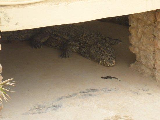 Midoun, Tunisia: Velký vs. Malý krokodýl :)