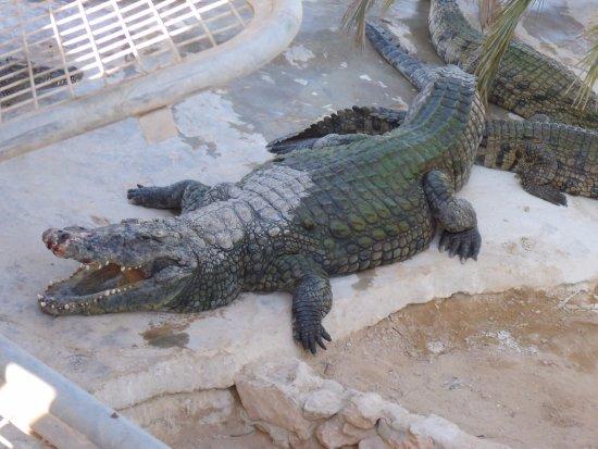 Midoun, Tunisia: Zřejmě nejstarší krokodýl na farmě