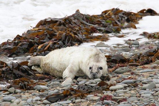 New Quay, UK: Young seal born three days ago.
