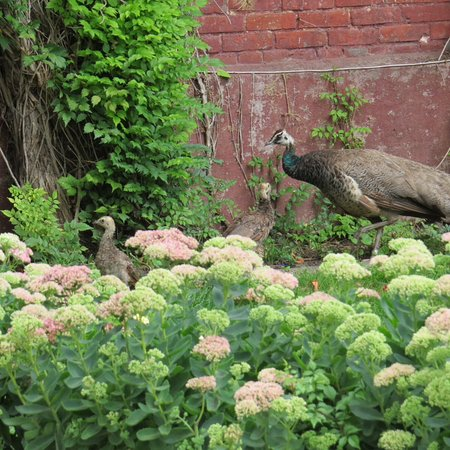 New Ulm, Миннесота: Peahen...and babies