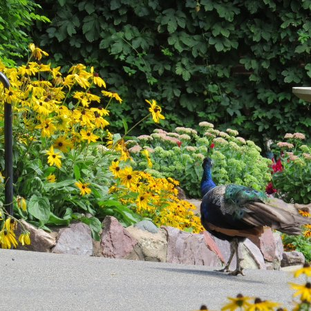 New Ulm, Миннесота: Peacock in one of the gardens