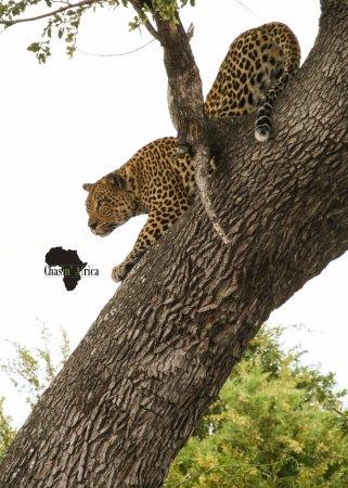 Marloth Park, Sydafrika: Leopard