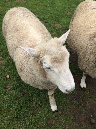 Mount Maunganui, New Zealand: Sheep at sheep farm