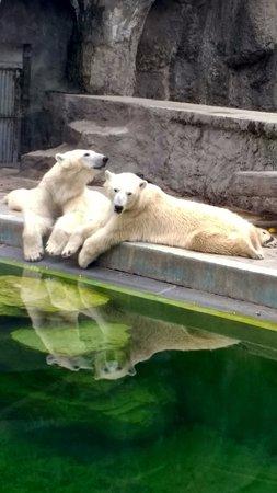 Budapest Zoo & Botanical Garden: The zoo's two Polar Bears.