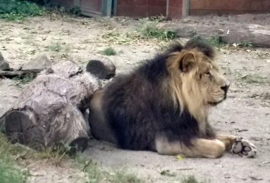 Budapest Zoo & Botanical Garden: King of the jungle.
