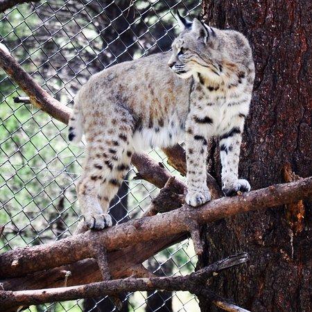 Williams, AZ: Bobcat