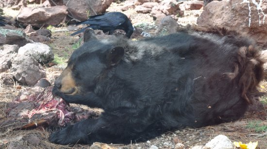 Williams, Αριζόνα: Black Bear eating