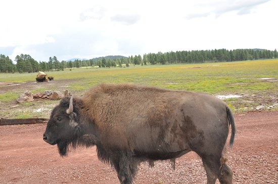 Williams, Arizona: Bison