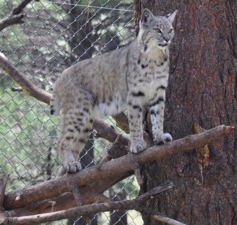 Williams, Arizona: Bobcat