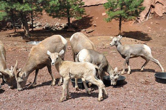 Williams, Arizona: Deer