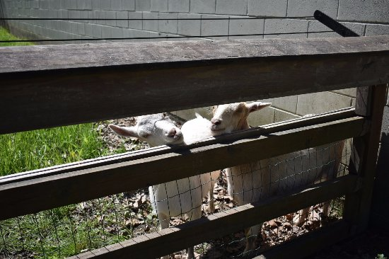 Boothbay Railway Village: the Goats