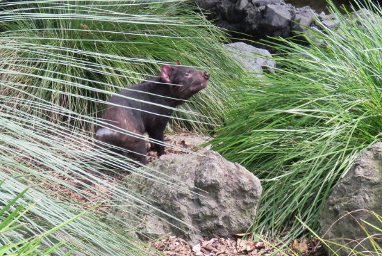 Auckland Zoo: The tasmanian devil paced from one end of his enclosure to the other