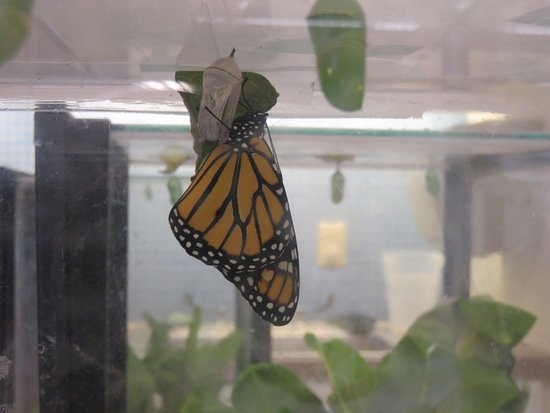 Howell, NJ: Monarch Butterfly hatching