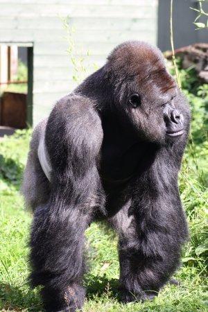 Тринити, UK: Silverback Gorilla adult male.