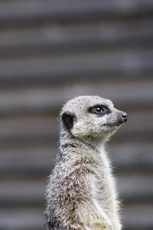 Тринити, UK: Meerkat