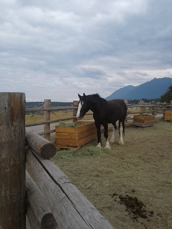 Fort Steele, Canadá: Clydesdale