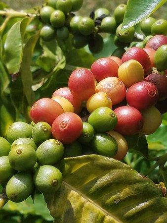 Kalaheo, HI: Coffee beans