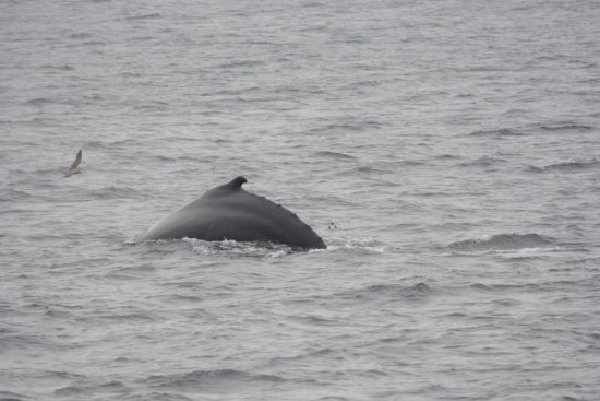 Barnstable, MA: Fin whale