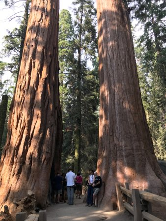Visalia, CA: Twin Sequoias