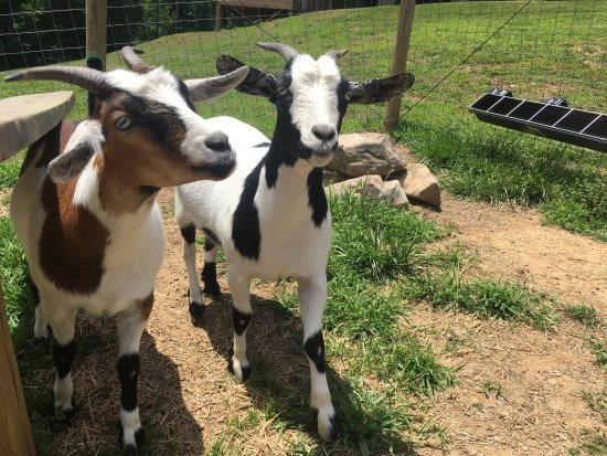 Jasper, GA: All guests are welcome to meet and play with our real fainting goats.