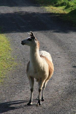 Kirchhundem, Duitsland: Nieuwsgierige Lama