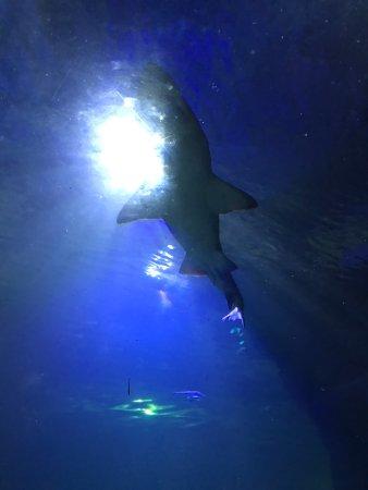 North Queensferry, UK: shark
