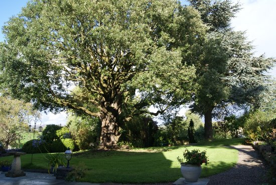 Ruthin, UK: Holm oak in the afternoon sun