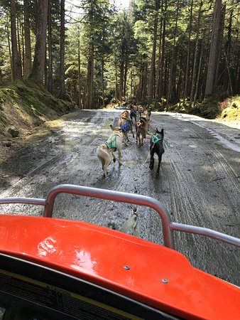 Dog Sled Discovery & Musher's Camp: Huskies pull a wheeled cart