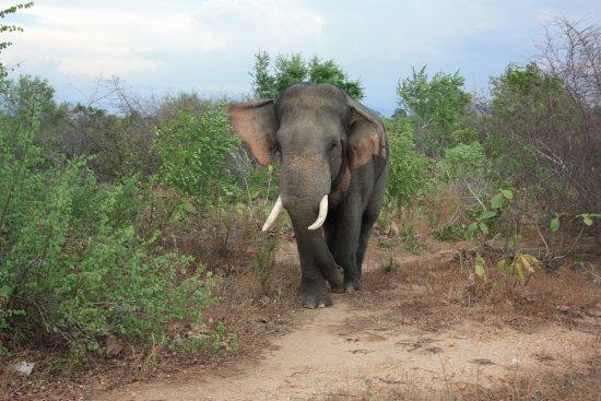 Uda Walawe National Park, Sri Lanka: Male tusk elephant