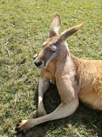 بريسبان, أستراليا: Canguro.