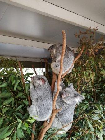 بريسبان, أستراليا: Koalas.