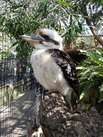 بريسبان, أستراليا: Kookaburra.