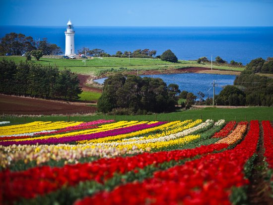 Table Cape Tulip. Photo by: Tourism Tasmania & Scott Sporleder, Matador