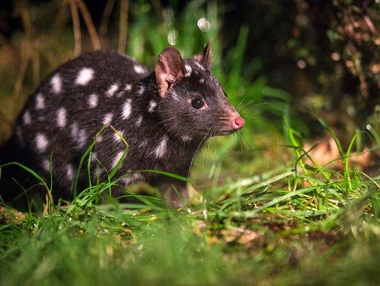 Tasmania, Australia: Spotted-tail Quoll, Devils @ Cradle. Photo by: Rob Burnett