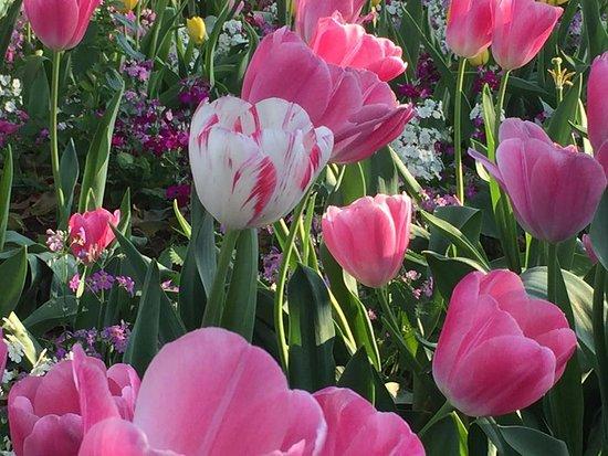 Toowoomba, Australia: Gorgeous tulips.