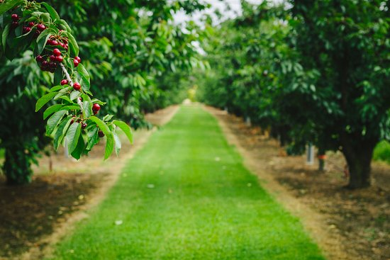 Manjimup, Australia: Cherry season in the Southern Forests is a highlight!