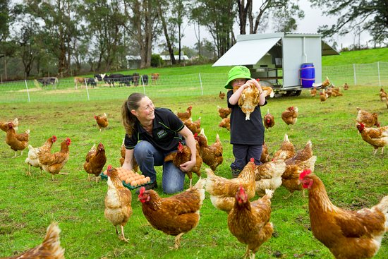 Manjimup, Australia: Happy Southern Forests hens at CharCol Springs roam free, producing tasty pastured eggs!