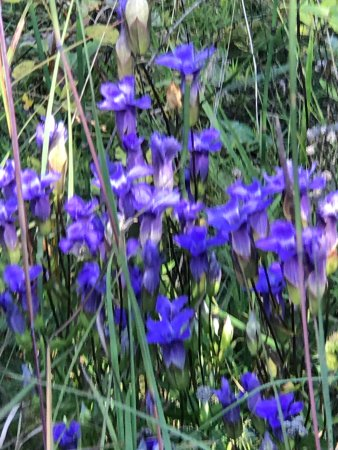 Zion, IL: Clumps of fringed gentian at this park (9/2017)