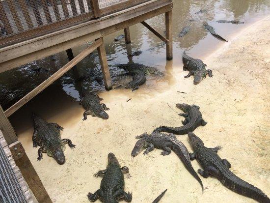 Kenansville, FL: Gators feeding at the enclosed pool
