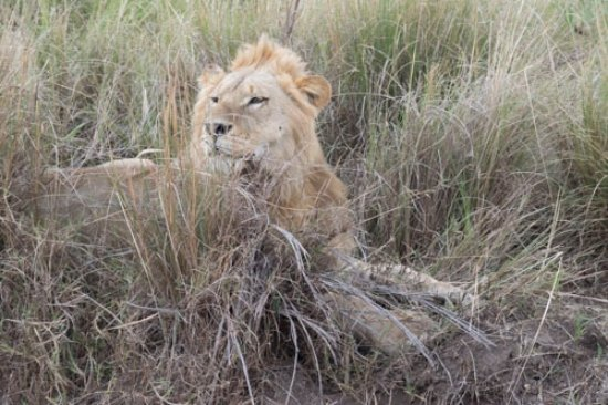 Mara West Camp: Lion on the side of the road during safari. Amazing.