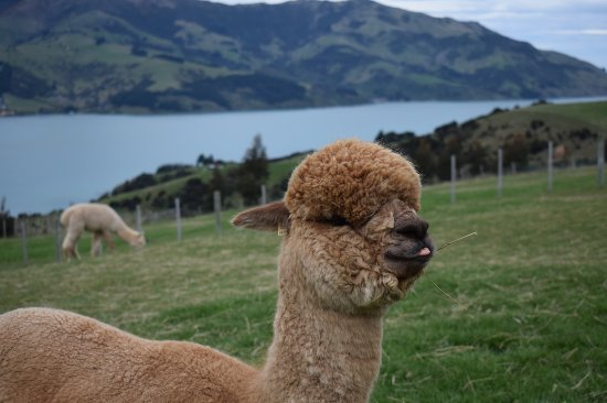 Akaroa, New Zealand: DOM the leader of the pack