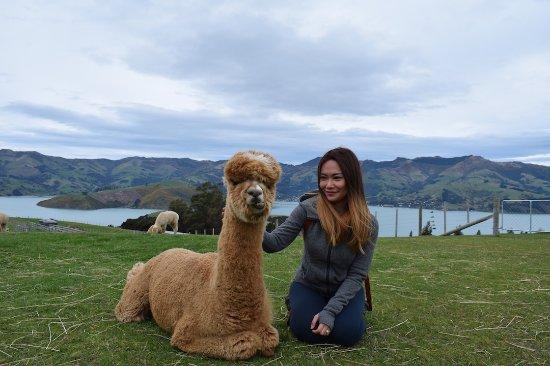 Akaroa, New Zealand: Alpaca