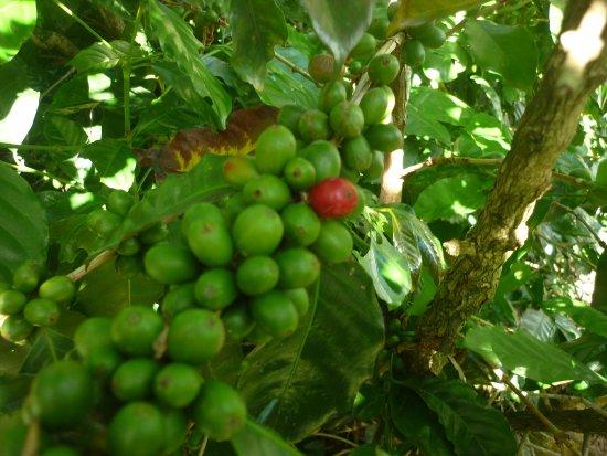 Doka Estate Coffee Tour: café en desarrollo