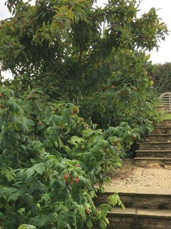 Oddington, UK: Zelie's raspberries