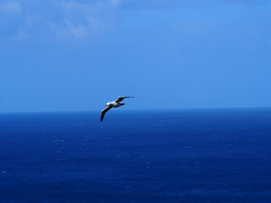 Isla Norfolk, Australia: sea bird, a Booby.